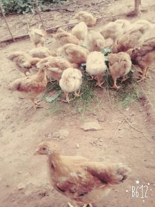 Rearing the chickens